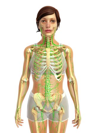 lymphatic system: 3d rendered illustration of female lymphatic system