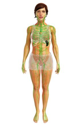 3d rendered illustration of female lymphatic system