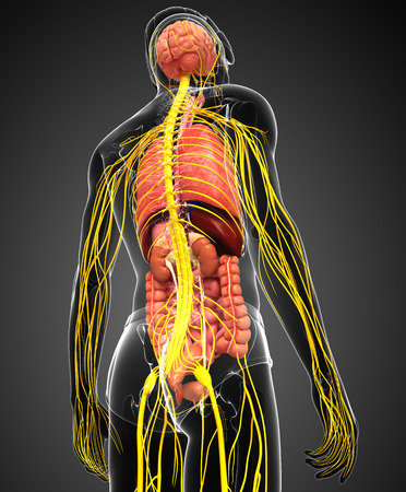 sistema digestivo: Ilustraci�n de cuerpo masculino con las ilustraciones sistema nervioso y digestivo Foto de archivo