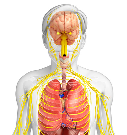 sistema digestivo: Illustration of Male body with nervous and digestive system artwork