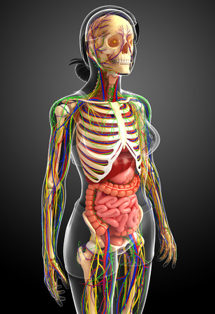 bronchi: illustration of Lymphatic, skeletal, nervous and circulatory system of female