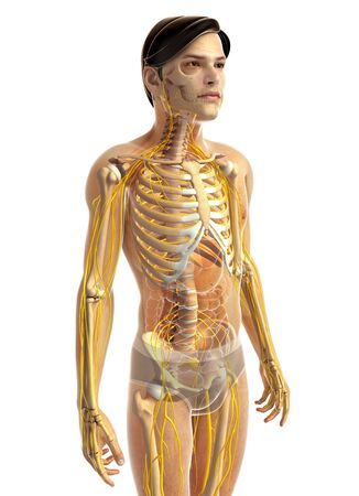 skeletal system: 3d rendered illustration of male skeletal system Stock Photo