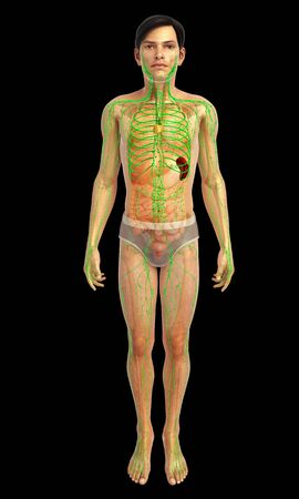 lymphatic: 3d rendered illustration of male lymphatic system Stock Photo