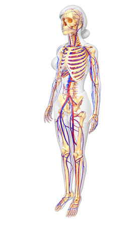 Ilustración Del Sistema Circulatorio Del Esqueleto Femenino Fotos ...