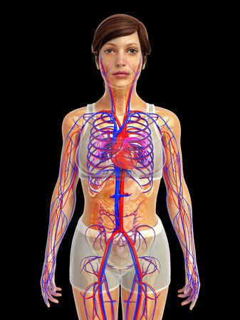 healthy arteries: 3d rendered illustration of female heart anatomy Stock Photo
