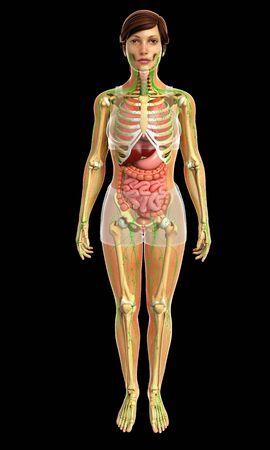 sistema digestivo: 3d rendered illustration of female digestive system
