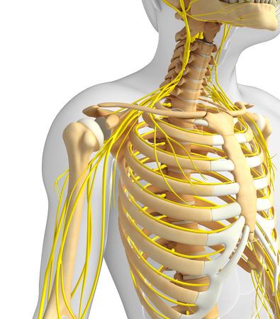 medical illustration: Illustration of male ribcage with nervous system artwork