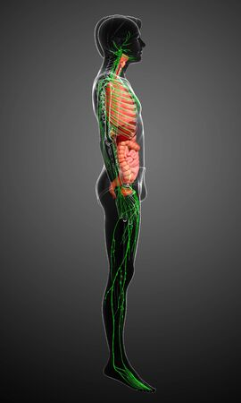 lymphocytes: Illustration of Male body lymphatic and digestive system artwork Stock Photo