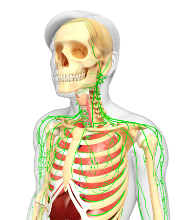lymph vessels: Illustration of Male body lymphatic, skeletal and respiratory system artwork