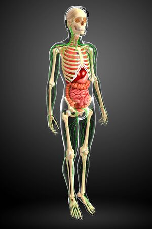 body fluid: Illustration of Male body lymphatic, skeletal and digestive system artwork Stock Photo