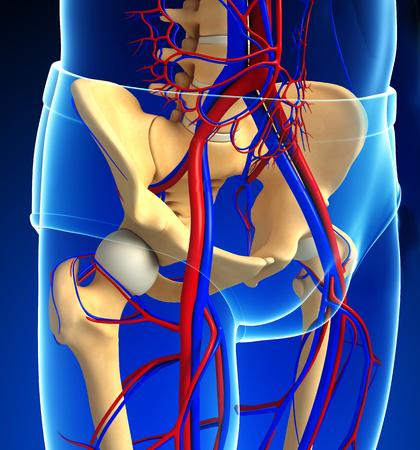 girdle: Illustration of human pelvic girdle circulatory system