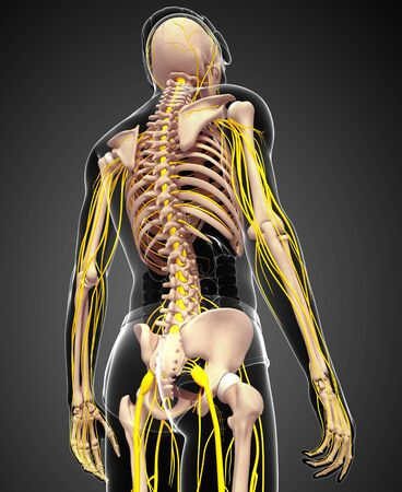 pelvic: Illustration of male skeleton with nervous system Stock Photo