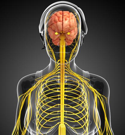 sistema nervioso central: Ilustración de la Mujer obra del sistema nervioso