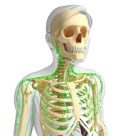 lymphatic: Illustration of Male skeleton with lymphatic system