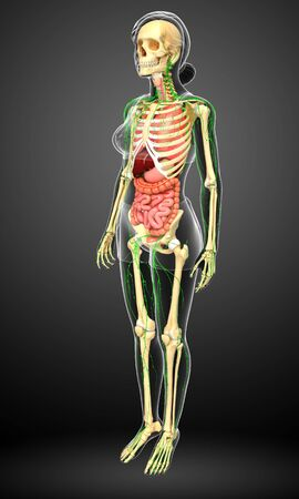 lymphatic: Illustration of Female body lymphatic, skeletal and digestive system artwork Stock Photo