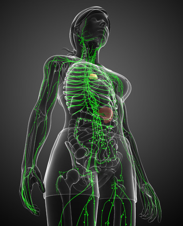 thymus: Illustration of female body lymphatic system