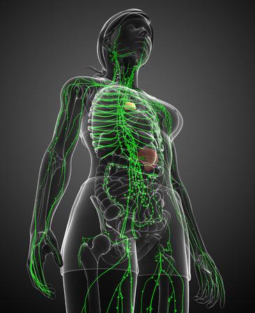 lymphatic vessels: Illustration of female body lymphatic system