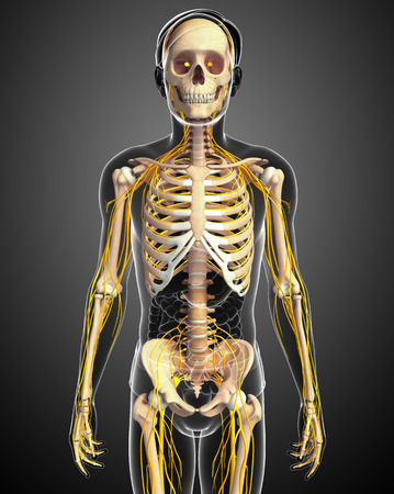 skeleton hand: Illustration of male skeleton with nervous system Stock Photo