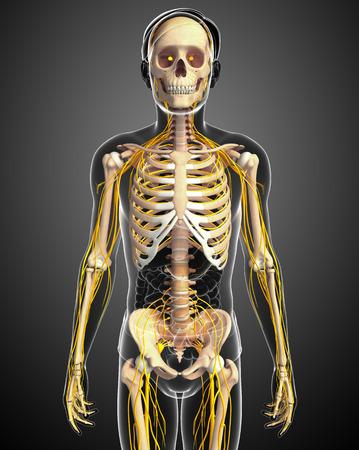esqueleto: Ilustraci�n del esqueleto masculino con el sistema nervioso