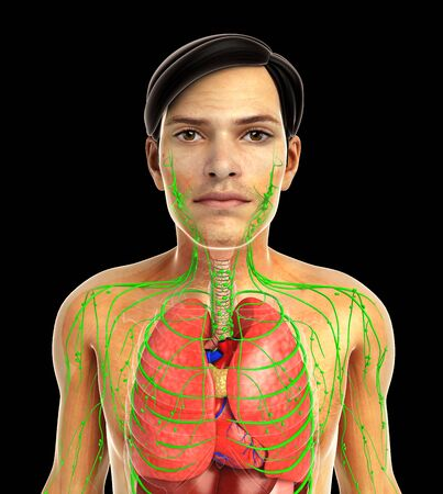 lymphatic system: 3d rendered illustration of male lymphatic system Stock Photo