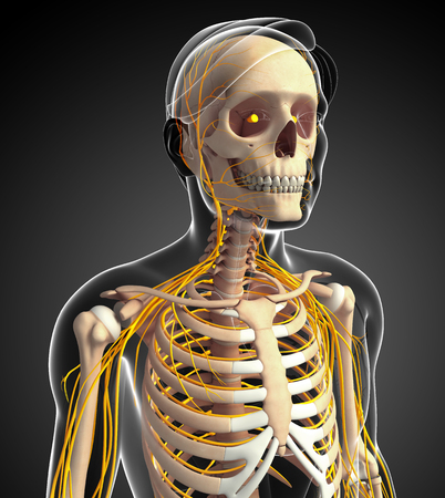 ribcage: Illustration of male ribcage with nervous system Stock Photo