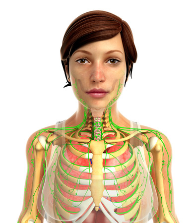 lymph: 3d rendered illustration of female lungs anatomy