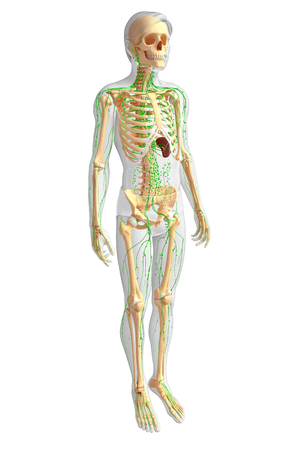 lymph nodes: Illustration of Male skeleton with lymphatic system