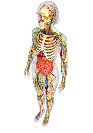 gastrointestinal system: illustration of Lymphatic, skeletal, nervous and circulatory system of female