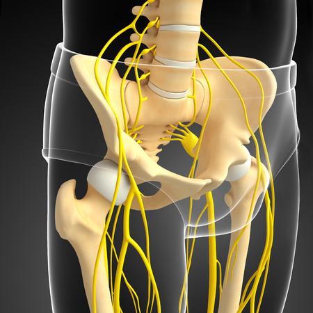 sistema nervioso: Ilustración del sistema nervioso y de la pelvis
