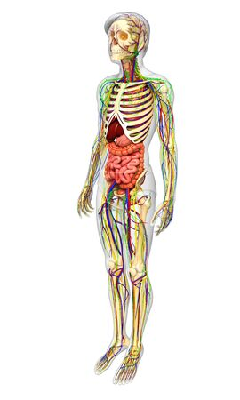 nervous: illustration of Lymphatic, skeletal, nervous and circulatory system of male