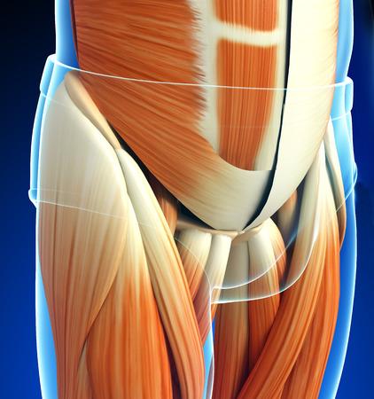 pelvic: 3d rendered illustration of pelvic girdle anatomy Stock Photo