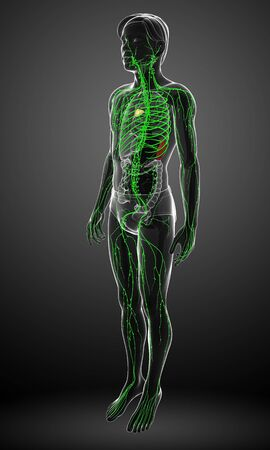 lymphocytes: Illustration of male body lymphatic system