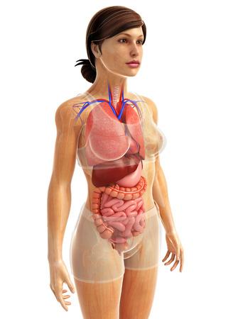 sistema digestivo: 3d rindi� la ilustraci�n de obras de arte sistema digestivo