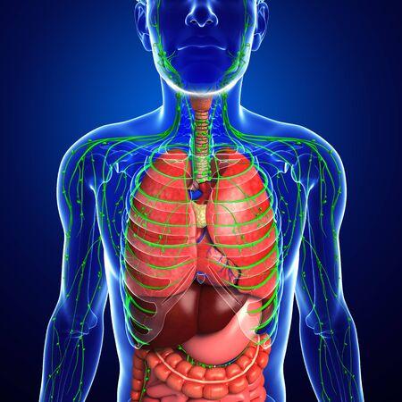 sistema digestivo: Ilustraci�n de Hombre linf�tico corporal y obra aparato digestivo