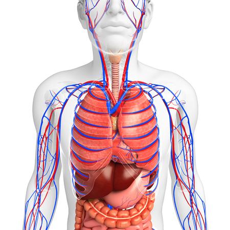 pleural fluid: Digestive and circulatory system of male body artwork