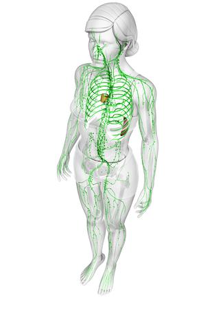 lymphatic system: Illustration of female body lymphatic system