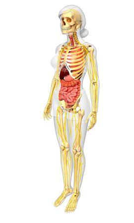 sistema digestivo: Ilustraci�n de la Mujer esqueleto con las ilustraciones sistema nervioso y digestivo Foto de archivo