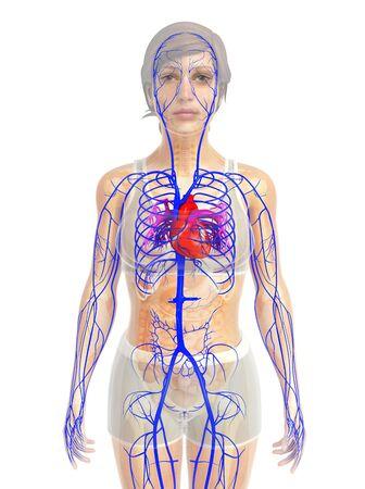arteries: 3d rendered illustration of female heart anatomy Stock Photo