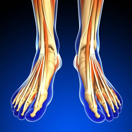 MUSCULAR SYSTEM: 3d rendered illustration of leg anatomy