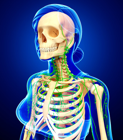 lymph nodes: Illustration of Female skeleton with lymphatic system Stock Photo