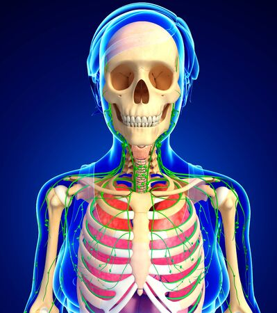 thymus: Illustration of Female body lymphatic, skeletal and respiratory system artwork