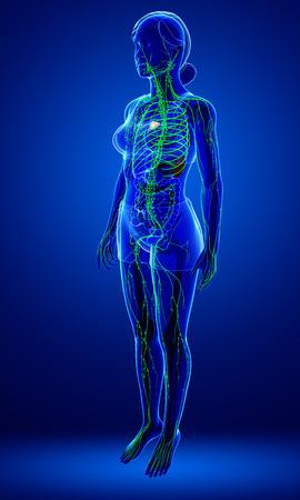 Illustration of female body lymphatic system
