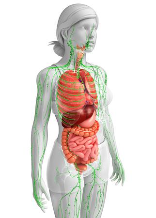 Illustration Des Weiblichen Körpers Lymph- Und Verdauungssystem ...
