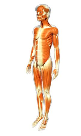 MUSCULAR SYSTEM: 3d rendered illustration of male muscles anatomy