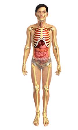 sistema digestivo: 3d rendered illustration of male digestive system