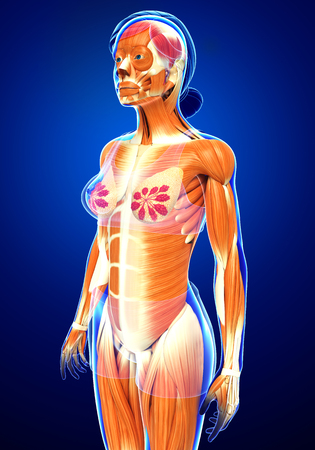 3d nude: 3d rendered illustration of female muscles anatomy Stock Photo