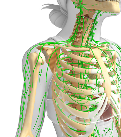 Illustration of Female skeleton with lymphatic system Stock Photo