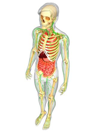 lymphocytes: Illustration of Male body lymphatic, skeletal and digestive system artwork Stock Photo