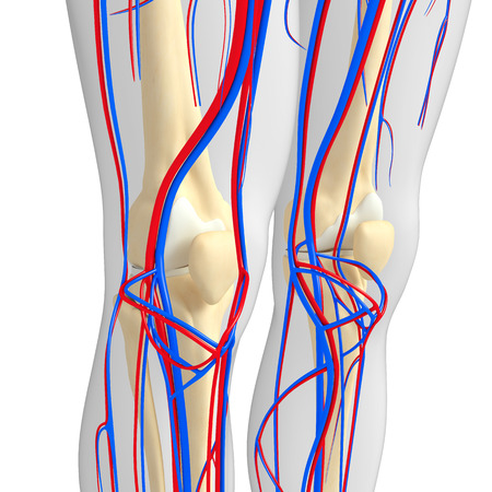 circulatory: Illustration of human skeletal circulatory system