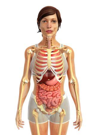 digestive: 3d rendered illustration of female digestive anatomy